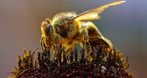 A bee collecting pollen.
