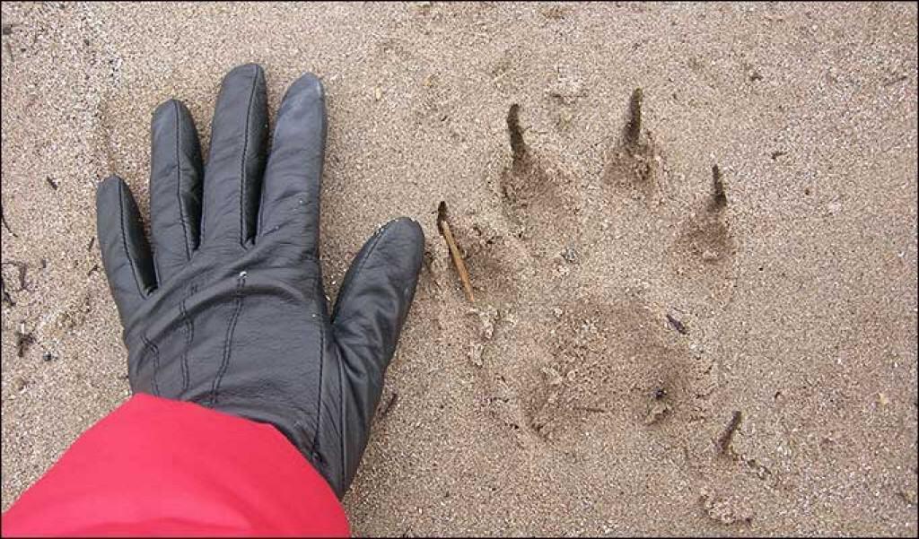 Nicola Martin took snaps of huge prints of a big cat on a beach near Coylton, Ayrshire. Photo credit: www.thesun.co.uk