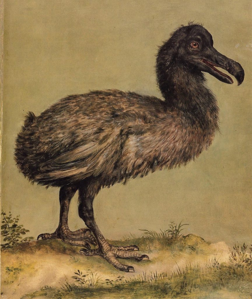 Illustration of a Dodo Bird in the menagerie of Emperor Rudolph II at Prague.