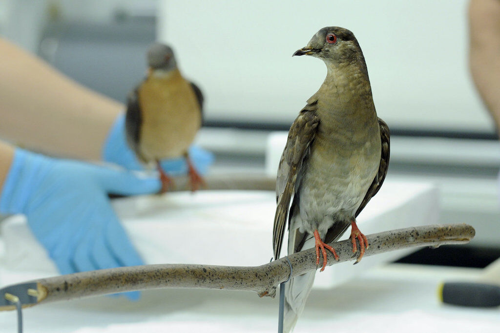 Martha was the last living Passenger Pigeon. It died on 1 September 1914.