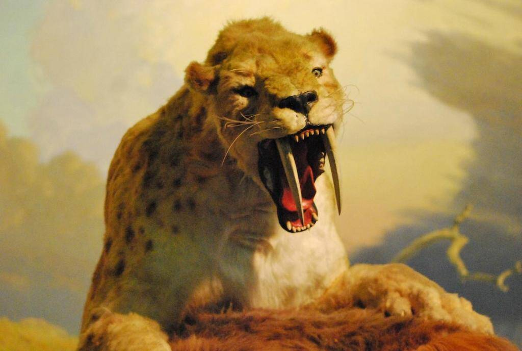 Should we have concerns of cloning extinct species such as the Smilodon, or Saber-Toothed Tiger?. Image: Brian Switek.