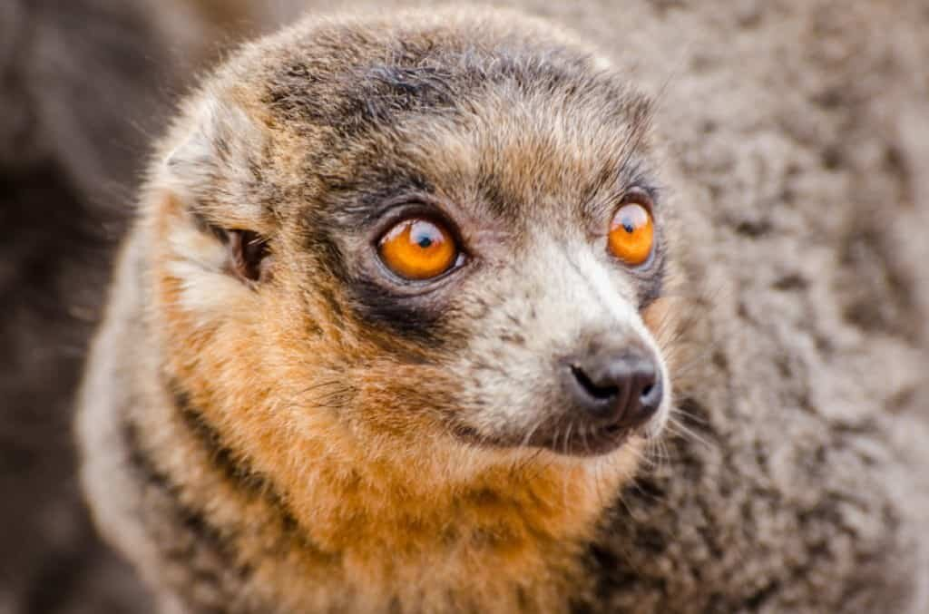 Dalby Spook, or Gef, was allegedly a talking mongoose which became a sensation in the 1930s. Image credit: Canstockphoto