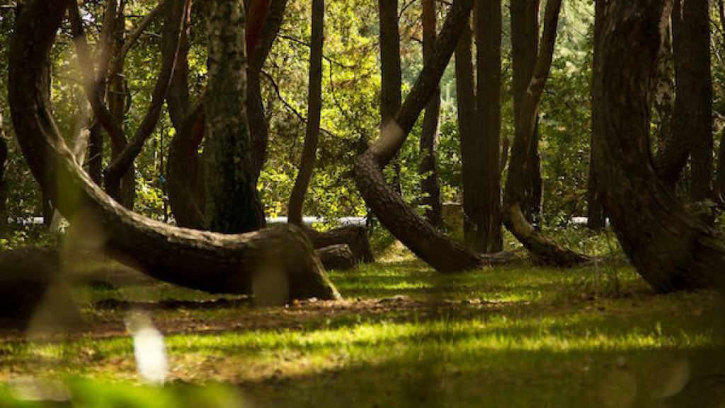 Crooked Forest Of Poland Is A Mystery Of Bent Trees - To this day the mystery of polands crooked forest remains unexplained