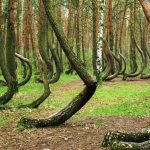 The Crooked Forest is a stand of bent pine trees.