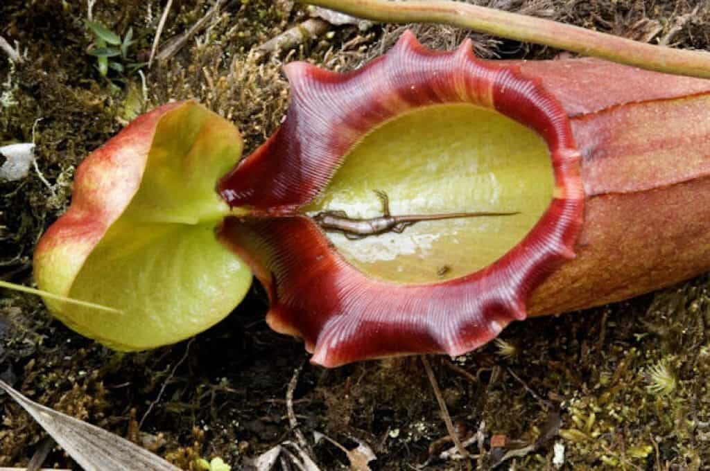 carnivorous plant nepenthes.