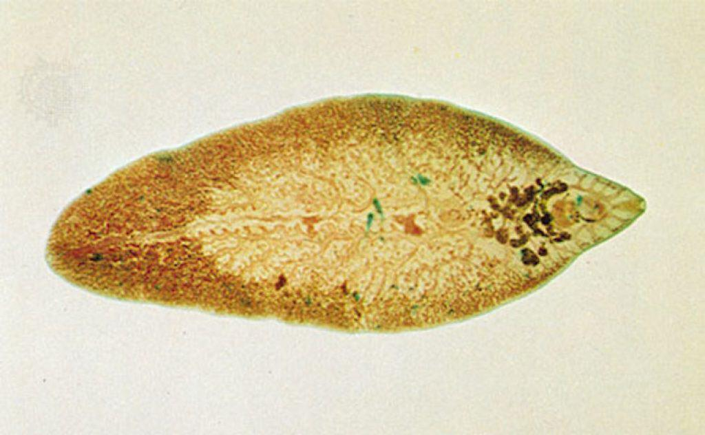 Flukes are also one of the many dangerous parasites in humansz