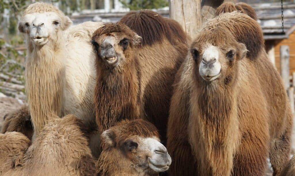 Camelops is the North American camel