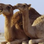 North American Camelops evolved into the modern camel