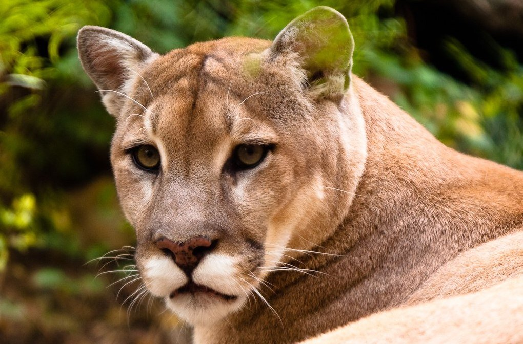 Cougars may cause disappearances
