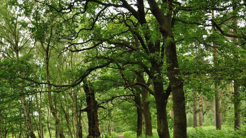 Sherwood Forest, as it looks in modern times.
