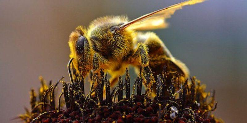 The Vanishing Honey Bees