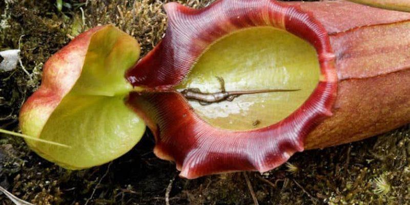 Carnivorous Plants: Legends of Man-Eating Flora