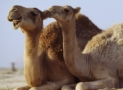 Camelops: The North American Ancestor of All Camels