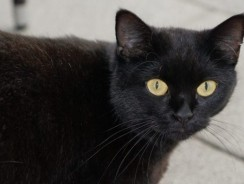 Black Cat Superstition: Good and Bad Luck Beliefs