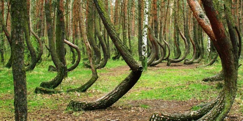 Crooked Forest of Poland: How'd They Get Those Curves?