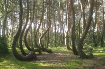 The Crooked Forest of Poland