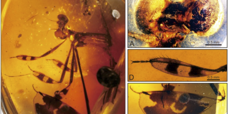 100 Million-Year-Old Fossilized Damselfly With Attractive Legs