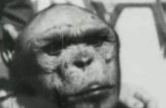 Genetically Engineering a Humanzee Hybrid