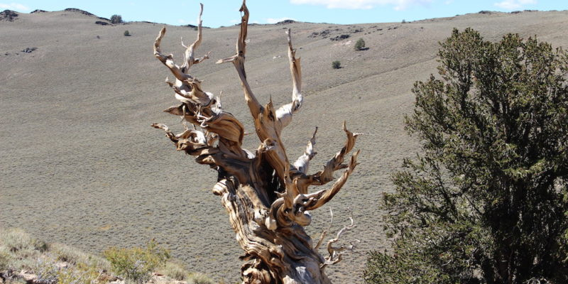 Oldest Tree in the World Hidden in California's White Mountains